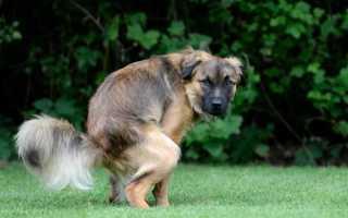 Светло желтый понос у собаки
