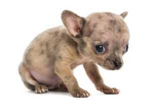 После глистогонки понос у щенка