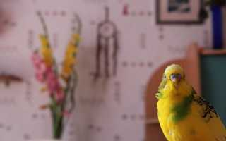 Темно зеленый понос у попугая