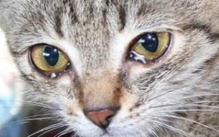 Понос и слезятся глаза у кошки