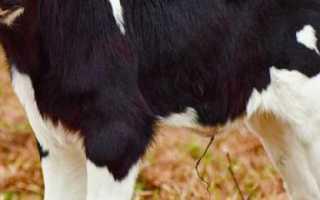 У трехмесячного теленка понос