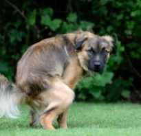 У собаки черный понос с кровью