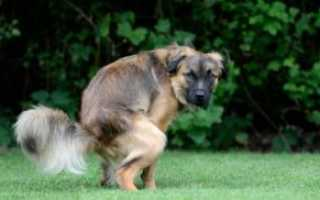 Фото поноса с кровью у собаки