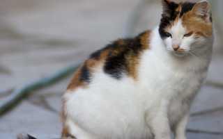 Почему понос у беременной кошки