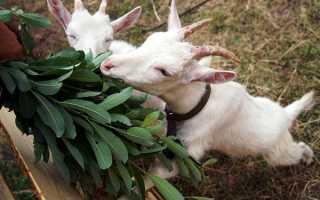 Что делать если у козы понос