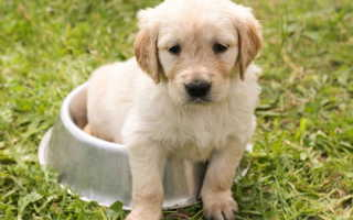 Понос у двухнедельного щенка