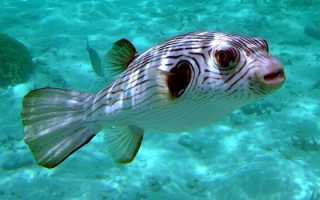 Рыба от которой можно умереть