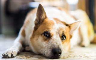 У щенка урчит в животе понос