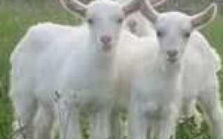 Понос и вздутие живота у козы